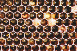 The brood pattern of a honeybee colony displaying the symptoms of low concentration (sub-lethal) neonicotinoid pesticide poisoning, referred to as colony collapse disorder (CCD).