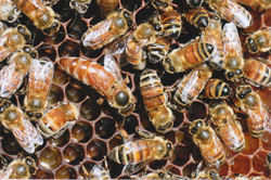 Days before the collapse of the honey bee colony, the queen was still laying eggs.