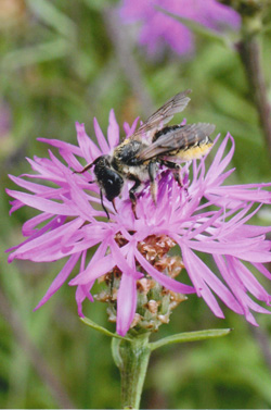 The large solitary leaf cutter bee (Megachile spp.) has not been seen foraging on star thistle since 2008.