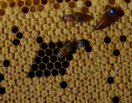 hygenic workers and queen on brood comb